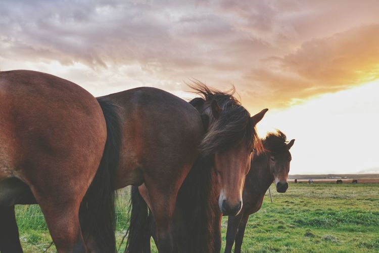 Animal Animal Wildlife Agriculture Cloud - Sky No People Mammal Animals In The Wild Nature Outdoors Rural Scene Animal Themes Close-up Day Sky Portrait Grass Horses Ponies Icelandic Horses Iceland Travel Togetherness Sunset Nature Livestock