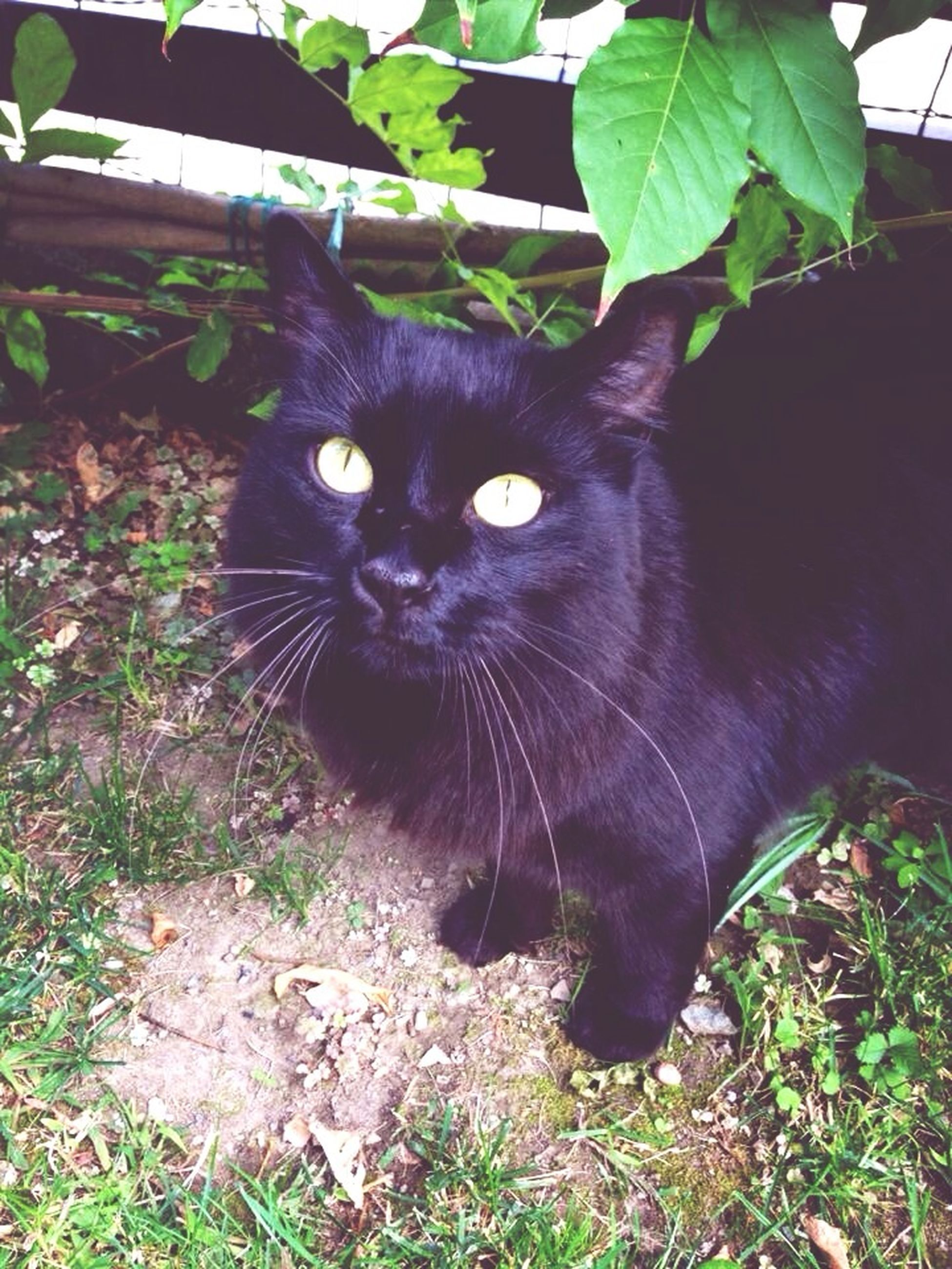 one animal, animal themes, domestic cat, cat, pets, domestic animals, mammal, feline, looking at camera, portrait, whisker, black color, sitting, grass, relaxation, alertness, staring, close-up, plant