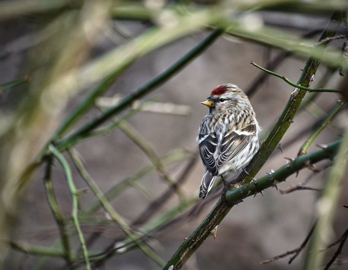 Common Redpoll Sweden 2017 Mars Niklas Råstasjön Showcase Mars 2017 Solna Bird One Animal Perching Animal Wildlife Animal Themes Songbird  Animals In The Wild Nature Close-up Beauty In Nature Outdoors Branch The Week On EyeEm Perspectives On Nature Shades Of Winter