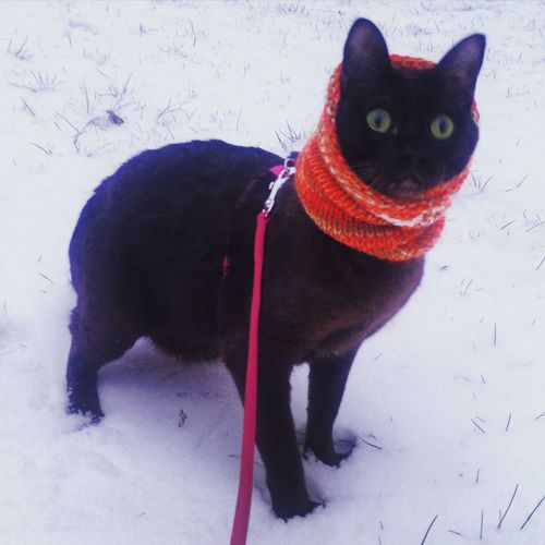 Cat Winter Wonderland Wintertime Winter Walk Wintercat Hello World Hi! My Cat Tonkinese Cats Of EyeEm Catsagram Cats Catsofinstagram Caturday