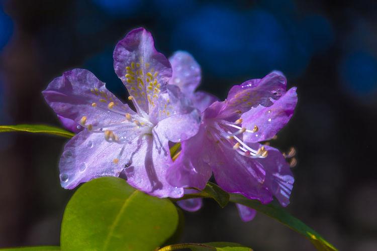 Flower Purple Petal Fragility Nature Beauty In Nature Close-up Flower Head Freshness Plant No People Outdoors Day Beauty Azalea Azaleas Azalea Flowers Azalea Blossoms Romurphyphotography EyeEmNewHere Tranquility