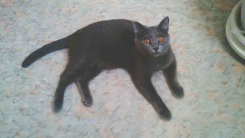 мой любимый кот кот Бостон Cot