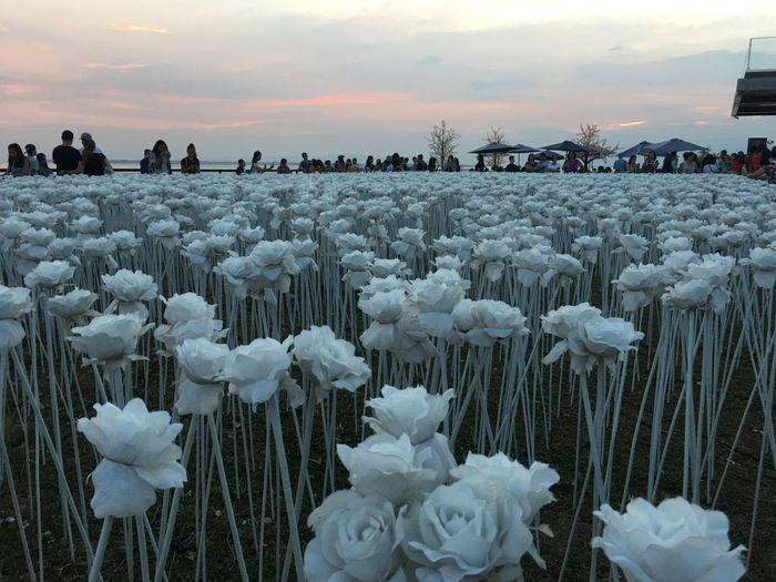10,000 Roses at
