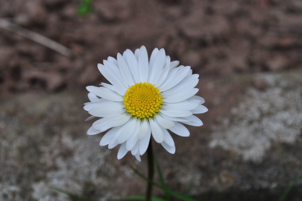 flower, petal, nature, beauty in nature, growth, flower head, white color, blooming, freshness, fragility, plant, yellow, close-up, no people, outdoors, day