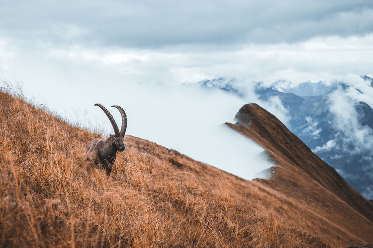 View of wild goat on land against sky