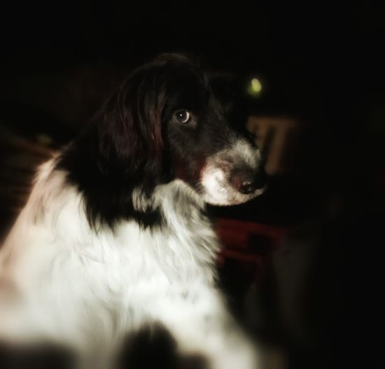 Dog Black Background Animal Themes One Animal No People Tiere♡ Hundefotografie Hovawart Mix Border Collie Mix Irish Wolfhound Mix Outdoors Dark Night Huaweiphotography Domestic Animals Hunde Liebe ♡
