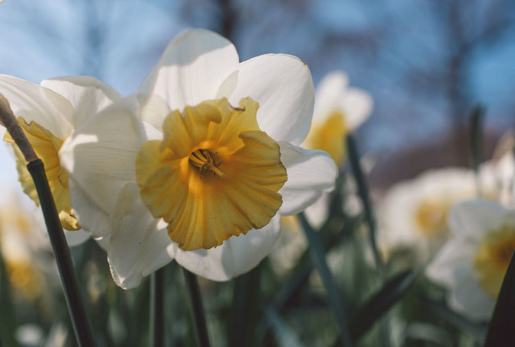Narcissus Flowering Plant Flower Petal Plant Vulnerability  Fragility Freshness Growth Beauty In Nature Flower Head Inflorescence Close-up Focus On Foreground White Color Nature Yellow No People Pollen Day Daffodil