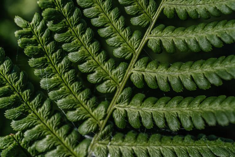 Athyrium filix-femina on a natural green background.