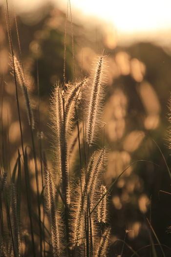 Close-up of reed growing on field against sky during sunset