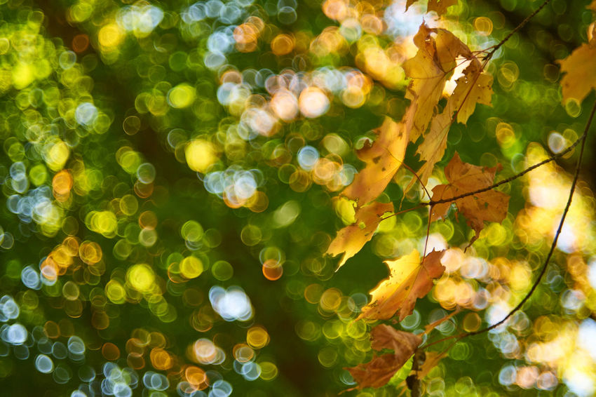 Autumn Bokeh Bubbles Autumn Backgrounds Beauty In Nature Bokeh Close-up Fall Colors Helios 44-2 Leaf Nature Tree