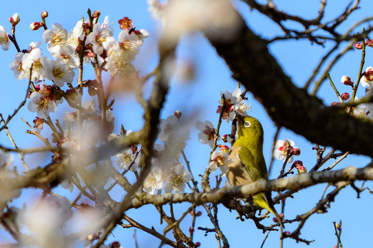 Branch Tree Plant Bird Vertebrate Low Angle View Animal Themes Animal Animal Wildlife Nature Sky Selective Focus Animals In The Wild Perching Growth Day No People Beauty In Nature Flower One Animal Outdoors Cherry Blossom メジロ 曽我梅林