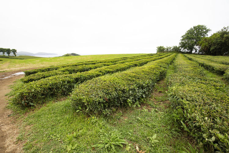 Rows of tea being produced near Sao Bras on Sao Miguel in the Azores. São Brás São Brás Cha Gorreana Portugal Azores Sao Miguel Tea Green Black Production Factory Industry Rows Atlantic Europe Cha Gorreana Organic Leaf Agriculture Island Tourism Drink No People