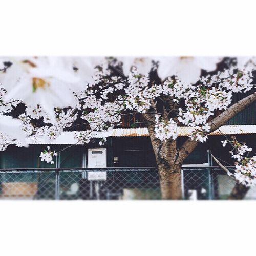 2017.🌸イエチカクnoSAKULA。 Built Structure Architecture Building Exterior Growth House Day No People Outdoors Plant Nature Tree Close-up Snow Freshness Flower Head Tree Flower Beauty In Nature Cherry Blossoms Kyoto City Someiyoshino