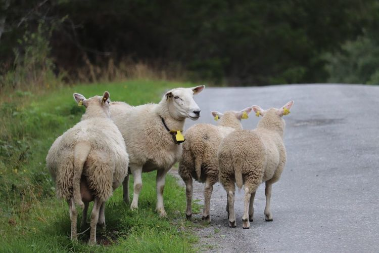 Sheeps standing on the road