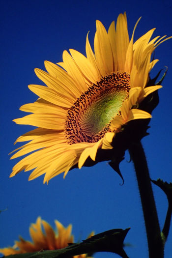 Close-up of sunflower against black background