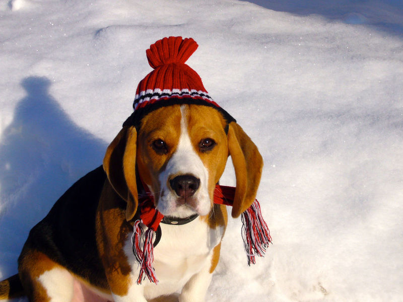 Christmas Moritz Animal Themes Beagle Christmastime Close-up Cold Temperature Day Dog Domestic Animals Looking At Camera Mammal Nature No People One Animal Outdoors Pets Portrait Sky Snow Winter Portraits EyeEm Best Shots EyeEmNewHere