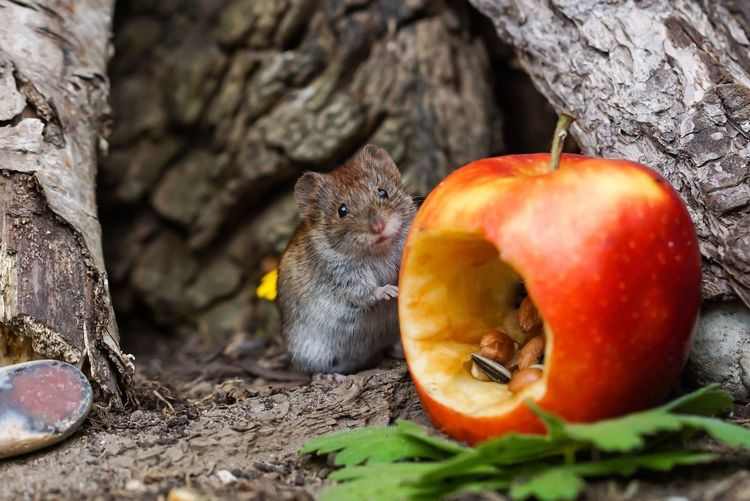 Close-up of rodent by eaten apple