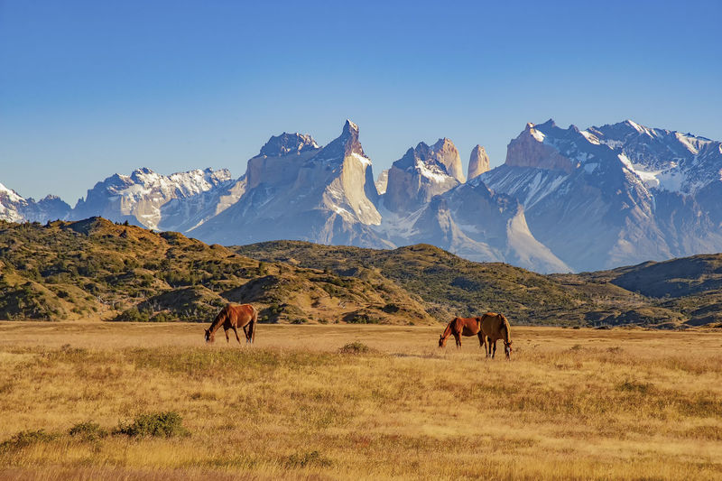 TORRES DEL PAINE, CHILE. grazing horses in front of the magnificent mountain range Mountain Mammal Animal Group Of Animals Scenics - Nature Beauty In Nature Landscape Land Nature Non-urban Scene Tranquil Scene Domestic Animals No People Snowcapped Mountain Paine Nationalpark Patagonia Chile Rugged Torres Del Paine Nationa Grazing Horse Mountain Range Impressive Andes Mountains Sky Livestock Outdoors