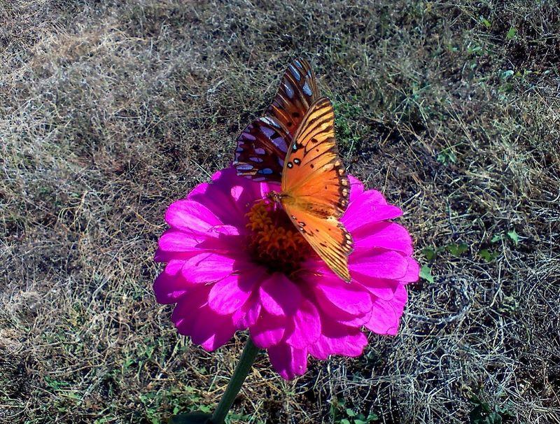 Beautiful Fritillary Butterfly Zinnia  Beauty In Nature Beauty In Nature Butterflies Butterflies And Flowers Butterfly Butterfly - Insect Butterfly Collection Butterfly On Flower Flower Fritillary Zinnia Flower Zinnia Plant Nature