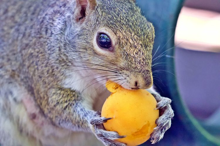 Food Animal One Animal Food And Drink Animal Themes Animal Wildlife Eating Close-up Mammal Holding Animals In The Wild Wellbeing Focus On Foreground Squirrel Animal Head  No People Apricot