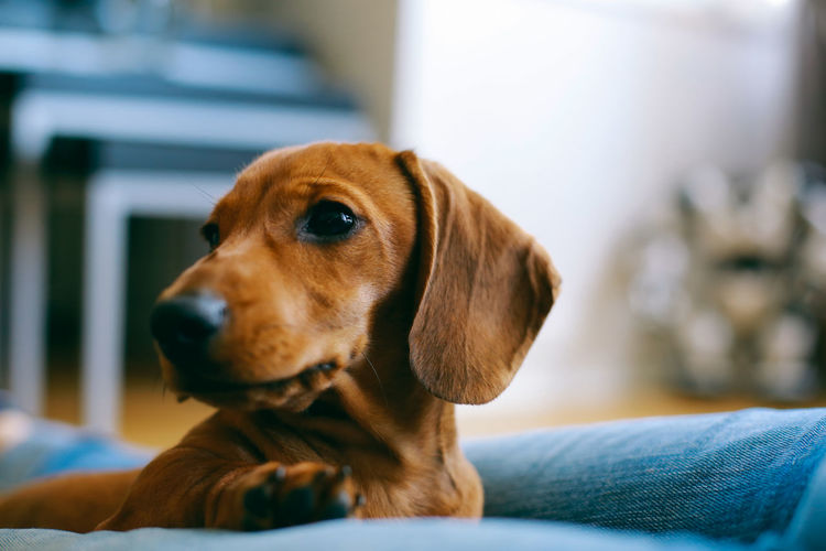 Just Chilling Animal Themes Apartment Close-up Dachshund Dog Domestic Animals Flat Floor Friendship Home Indoors  Laying Love One Animal Owner Pet Puppy Relaxing Shallow Depth Of Field Smooth Trust Pet Portraits