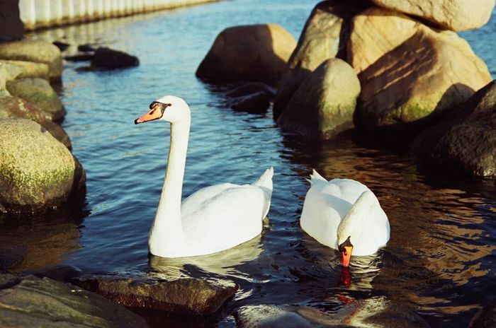 Canon Eos 3 Fujicolor Pro 400H Animal Themes Animal Wildlife Animals In The Wild Beauty In Nature Bird Close-up Day Film Photography Lake Nature No People One Animal Outdoors Swan Swimming Water