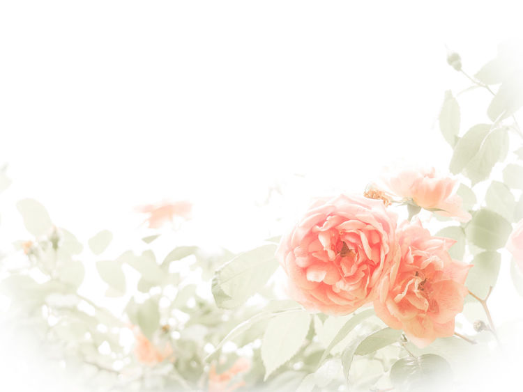 Ich kann auch anders^^: Kitsch 2 Backround Blooming Close-up Copy Space Elégance Flower Flower Head Flowery Fragility Kitschy Pastel Colors Petal Pink Pink Color Romantic Rosé Rose - Flower Softness White Background