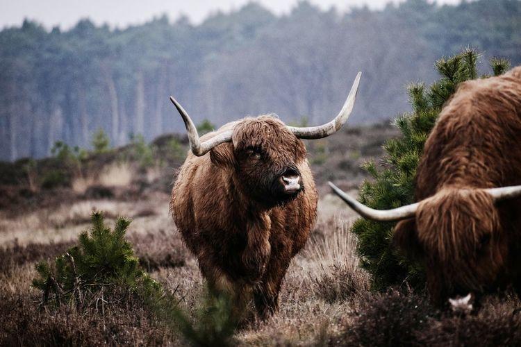 Scottish highlander standing in a field
