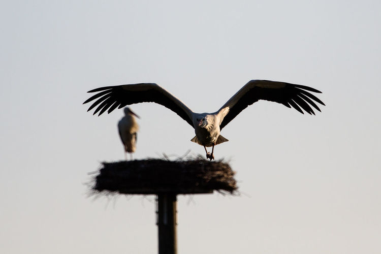 Low Angle View Of Stork Flying With Nest In Background
