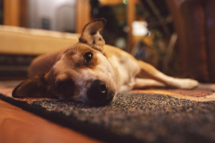 Sleeping Dog Canine One Animal Mammal Animal Themes Animal Pets Domestic Domestic Animals Vertebrate Selective Focus Relaxation Portrait Looking At Camera Lying Down Flooring No People Indoors  Close-up Animal Body Part Animal Head  Surface Level Snout