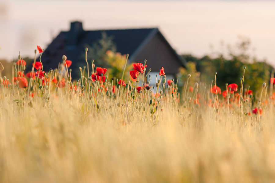 Copy Space Field Poppy Fields Beauty In Nature Close-up Cornfield Countryside Field Flower Flower Arrangement Flower Head Flowering Plant Fragility Freshness Growth Idyllic Land Landscape Nature Plant Poppies  Poppy Red Selective Focus Vulnerability