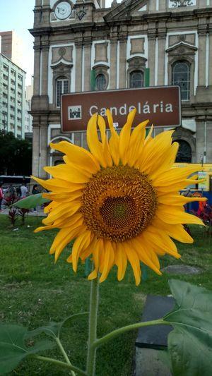 E no meio de tanto caos no Centrodoriodejaneiro um lindo Girassol para Alegrar o dia!!! Flowers Walking Around Hapiness Sunflower EyeEm Nature Lover Rio De Janeiro Candelaria