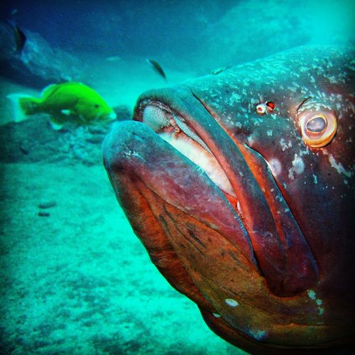 Animal Themes Animals In The Wild Close-up Fish Giant Grouper Grouper No People One Animal Red Groupers Sea Life Underwater Underwater Photography Underwater World Wildlife Yellow Grouper