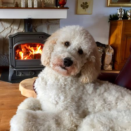 Dog Pets Domestic Animals Animal Themes Portrait Looking At Camera One Animal Mammal Indoors  Home Interior No People Living Room Close-up Day