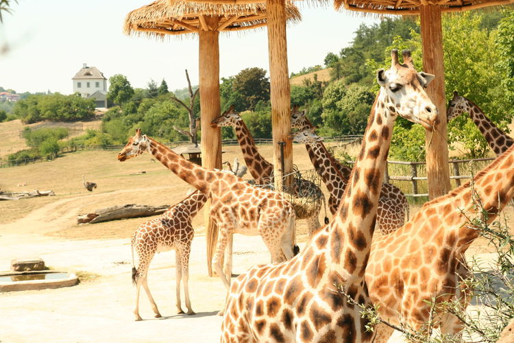 Animal Markings Animal Themes Animal Wildlife Animals In The Wild Beauty In Nature Cheetah Day Giraffe Large Group Of Animals Leopard Mammal Nature No People Outdoors Safari Animals Spotted Togetherness Tree Zoo