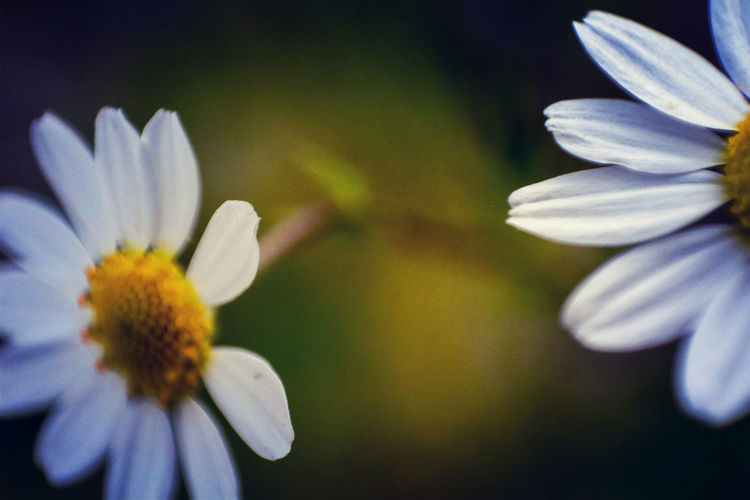 Beauty In Nature Blooming Camomile Chamomile Colorful Colors Flower Flower Head Fragility Freshness Growth Macro Macro Beauty Macro_flower Macro Nature Macro Photography Macro World Macrophotography Nature Out Of Focus Petal Petals Plant VSCO Vscocam