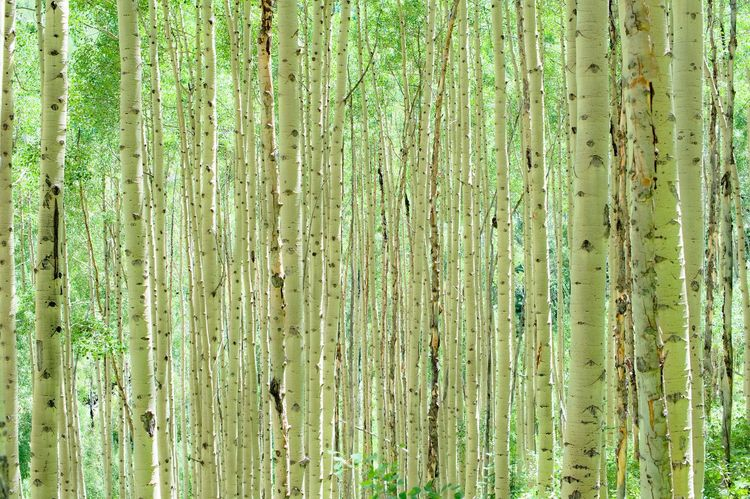 Been There. Colorado Backgrounds Bamboo - Plant Close-up Day Forest Full Frame Green Color Growth Nature No People Outdoors Plant Textured  Tree Tree Trunk Wood - Material