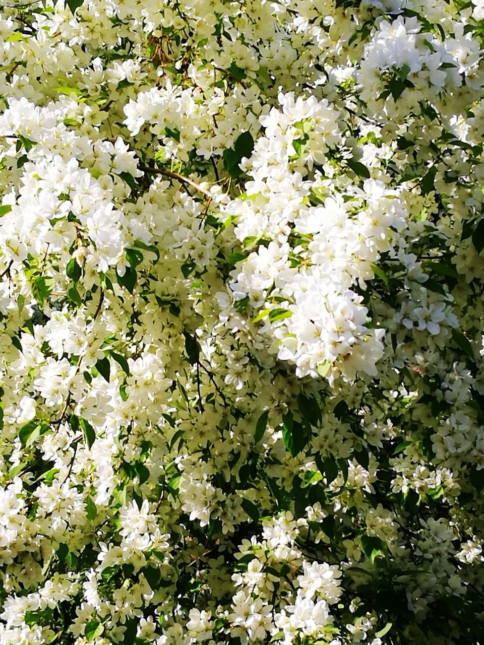 flower, blossom, growth, white color, nature, botany, spring, fragility, no people, freshness, tree, day, outdoors