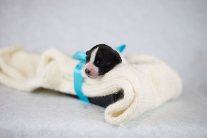 Border collie puppies Bow Dogs Love Animal Animal Themes Animals Beautiful Woman Bed Black Blackandwhite Blanket Cat Cozy Dog Domestic Domestic Animals Domestic Cat Eyes Closed  Feline Furniture Indoor Indoors  Lying Down Mammal Newborn One Animal One Person Pets Pixel Puppies Puppy Relaxation Sleeping Softness Studio Shot Sweets Towel White Background