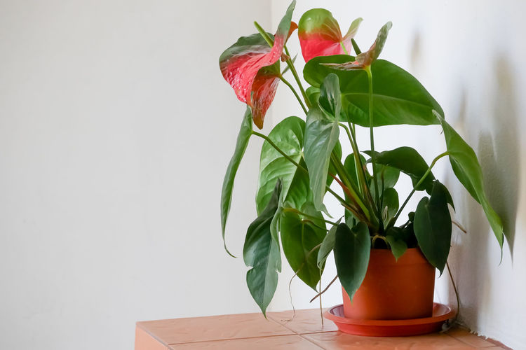 Plant Part Leaf Plant Freshness Nature Green Color Flower Flowering Plant Red Beauty In Nature Close-up Growth Fragility Indoors  No People Vulnerability  Table Copy Space Petal Potted Plant Flower Head Houseplant