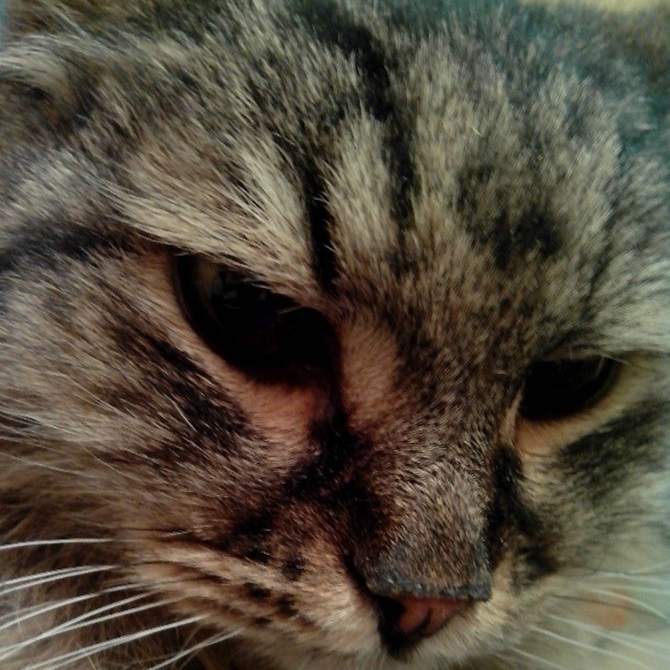 domestic cat, animal themes, cat, domestic animals, one animal, feline, pets, mammal, whisker, animal head, close-up, animal body part, animal eye, indoors, portrait, looking at camera, animal hair, part of, full frame, no people