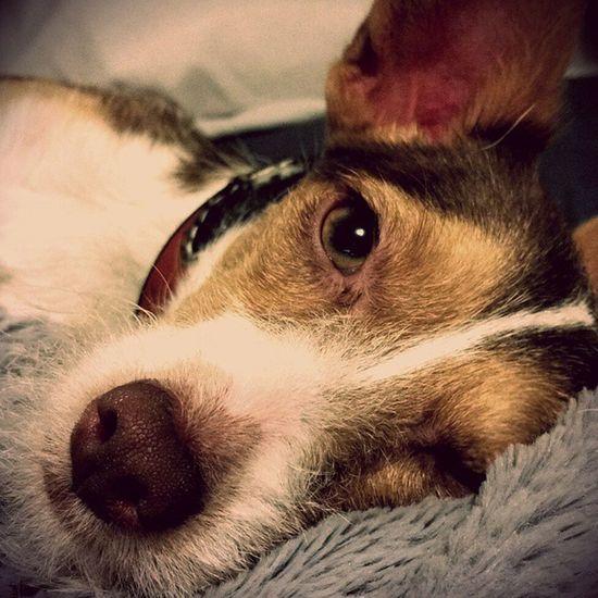 Cooperhound trying to be a Sleepingdog but I don't always Letsleepingdogslie Glamourdog Itstoughbeingthiscute Mightytiny Smallbutbigatheart Weeklyfluff Dogstagram Dogsofinstagram Igdogs PuppyLove Puppiesofinstagram