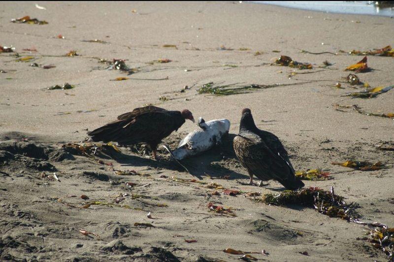 Turkey Vulture Shark Piedras Blancas Beach Capture The Moment Animal Photography Coastal Coastline Coastline Landscape Coastal Views California Beaches Coastal Beauty Animalphotography Food Chain SHARK!!! Vulture Vultures Vultures Natures Diversities