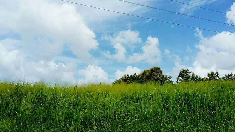Fields And Sky Grasses Green Nature Roadtrip- Trinidad and Tobago.