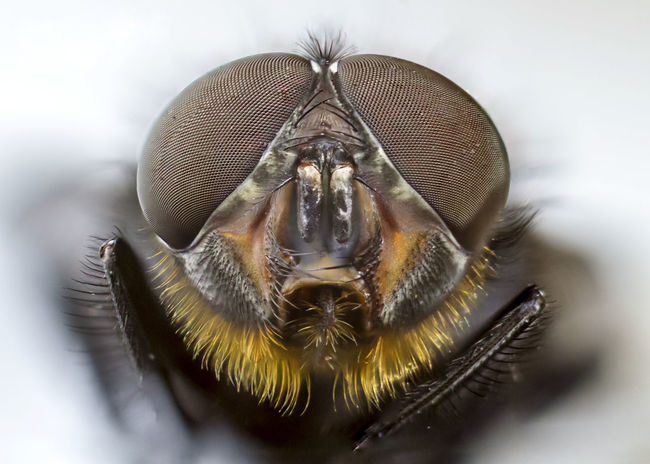 Calliphora Calliphoridae Animal Animal Eye Animal Head  Animal Themes Calliphora Vomitoria Close-up Diptera Extreme Close-up Eye Fly Insect Invertebrate Italy Macro Male Nature No People
