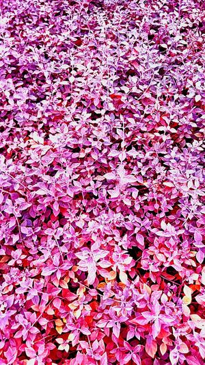 Ornamental Plants Gardening Gardening Close-up Pink Pink Color Leaves Leaf Pink Leaves Pink Tones Beautiful Nature Beauty Of Nature Nature Color Leaves Color Leaves Pattern Pattern