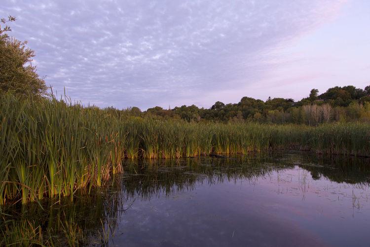 Invasive reeds
