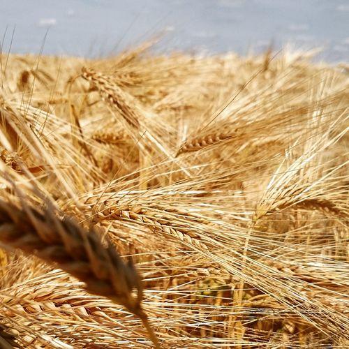 L'incidence de la canicule sur les cultures ? Agriculture Agricoltura EyeEm Best Shots Nature_collection Naturelovers BLE Canicule