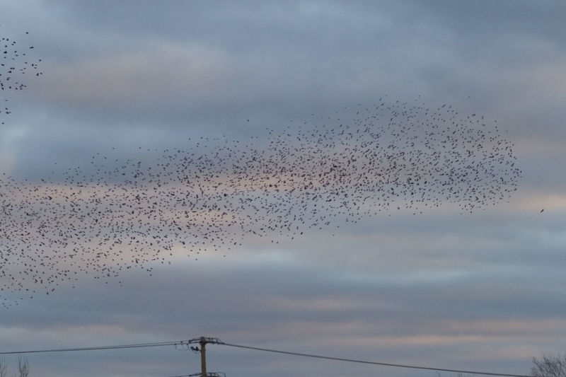 Murmuration Airborne Animal Themes Animals In The Wild Autumn Bird Day European Starlings Fall Flock Of Birds Flying Migration Murmuration Nature No People Outdoors Sky