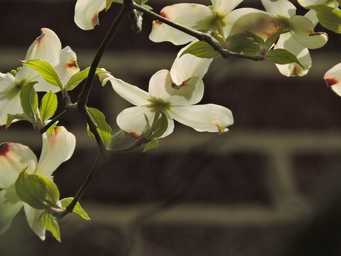 Dogwood Blossom Plant Flower Flowering Plant Growth Fragility Beauty In Nature Vulnerability  Freshness Close-up Petal Nature Focus On Foreground White Color No People Plant Part Inflorescence Flower Head Leaf Day Blossom Outdoors Springtime